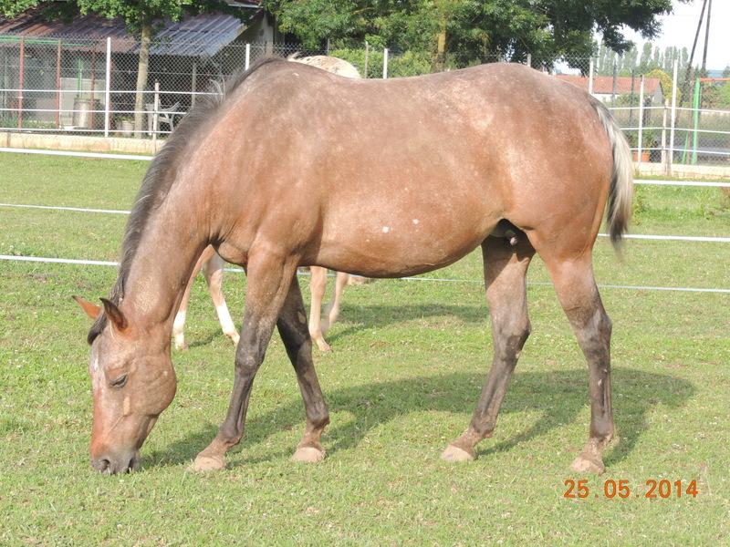 Les chevaux de l'Appaloosa IJ Farm - Page 2 Uppy_413