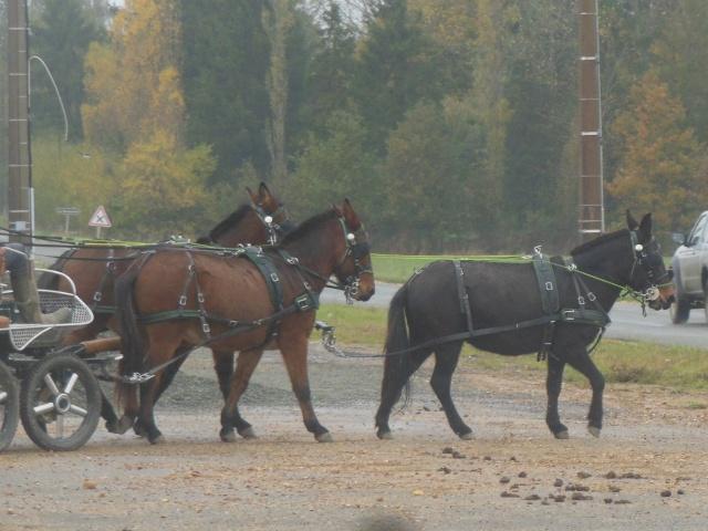 Mon projet d'attelage à 4 mules pas à pas ... Dscn7114