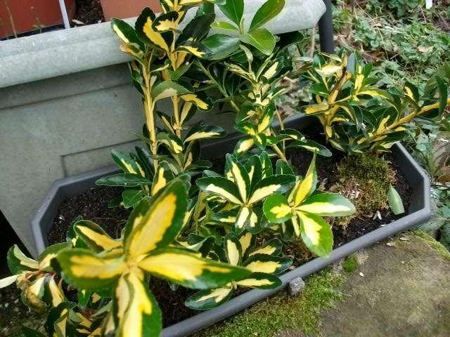 .Euonymus japonicus 'Aureus' !pictus 8_janv35