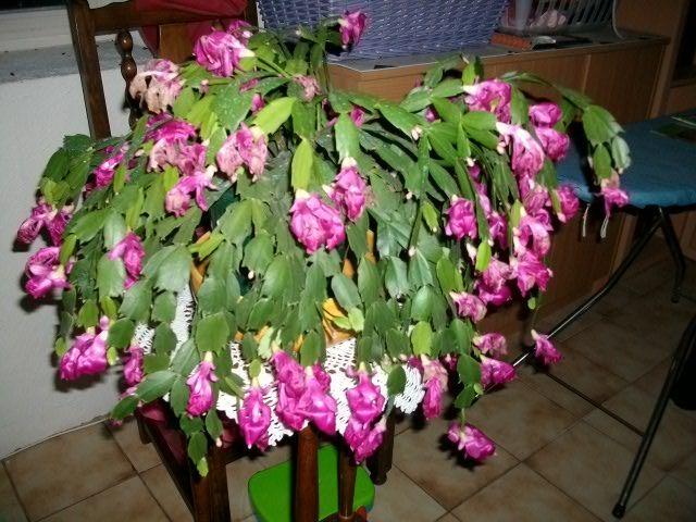 floraison d'un Schlumbergera Novemb10