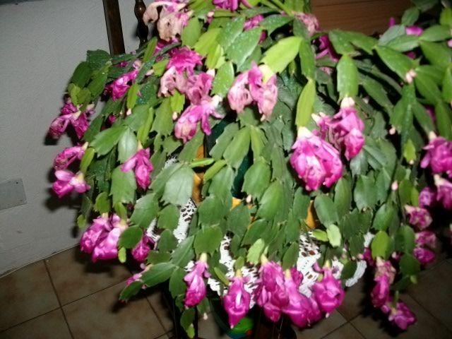 floraison d'un Schlumbergera Novemb11
