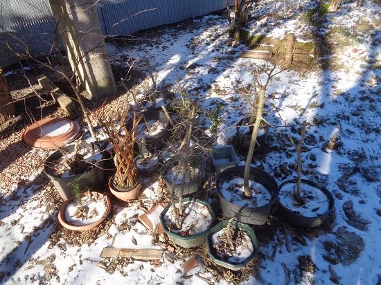 Froid sur bonsaï Dsc06225