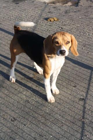 ALOE jeune beagle femelle (Asso GALIA 85) Aloa110