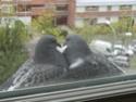 sait-on tout sur les pigeons..? Cimg3210