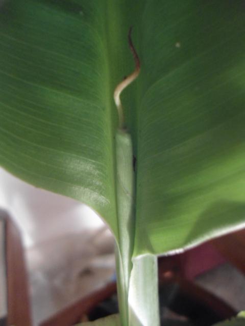 Bananier :Notions élémentaires en photos 4cbana11