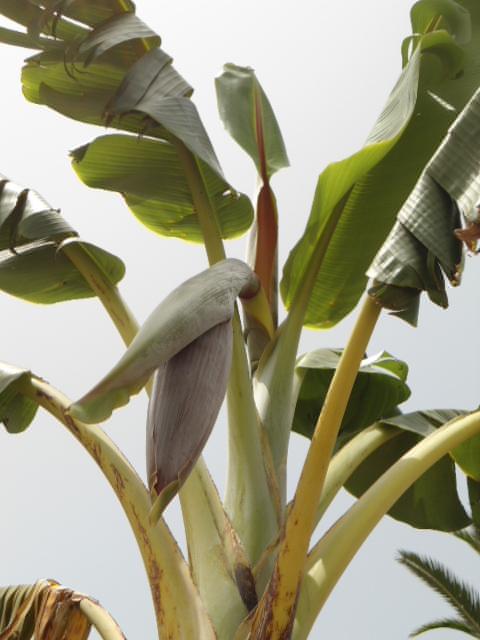 Bananier :Notions élémentaires en photos 5abana10