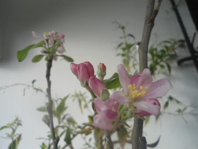 Le printemps est déjà là Pommie10