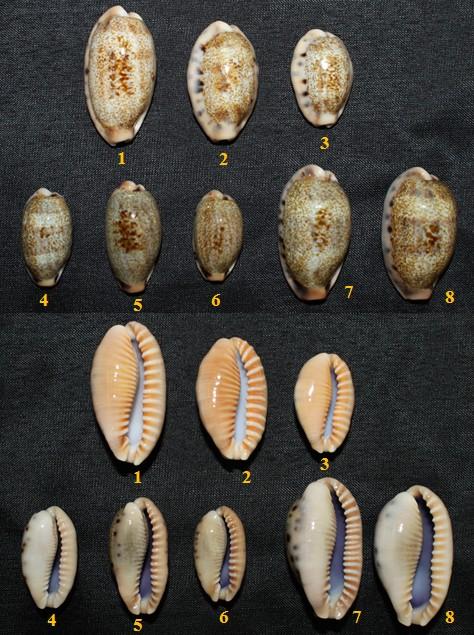 Révision 2013 des porcelaines des Seychelles Cauric10
