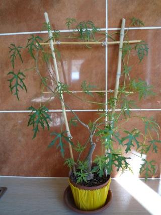 Cissus Tuberosa P1010210