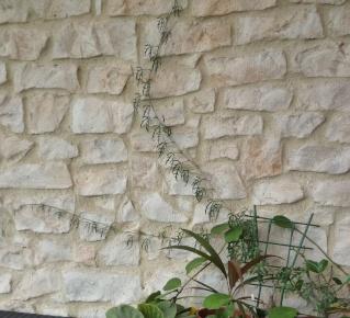 Cissus Tuberosa P1040112