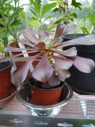 Aeonium arboreum 'Atropurpureum' - Page 3 P1040414