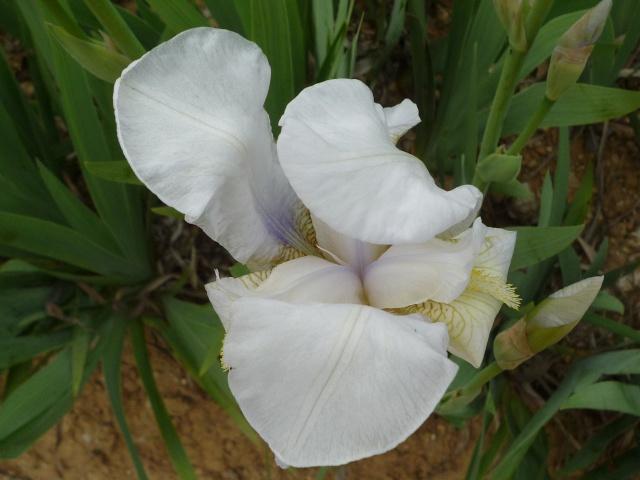 Floraison au fil du temps chez Zinna P1060014