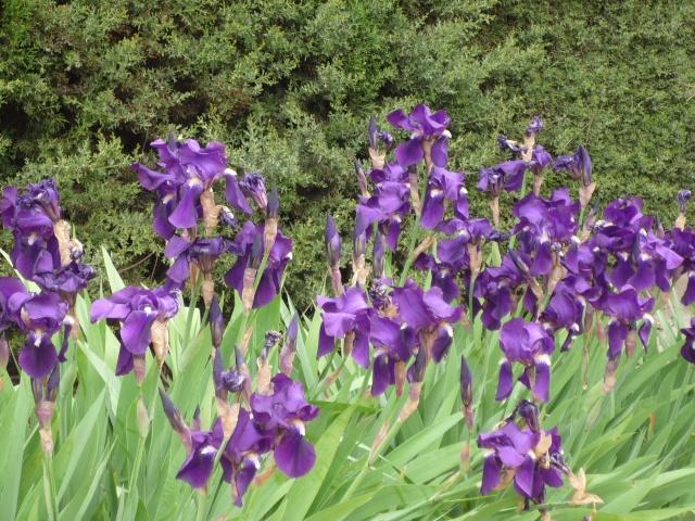 Floraison au fil du temps chez Zinna P1060015