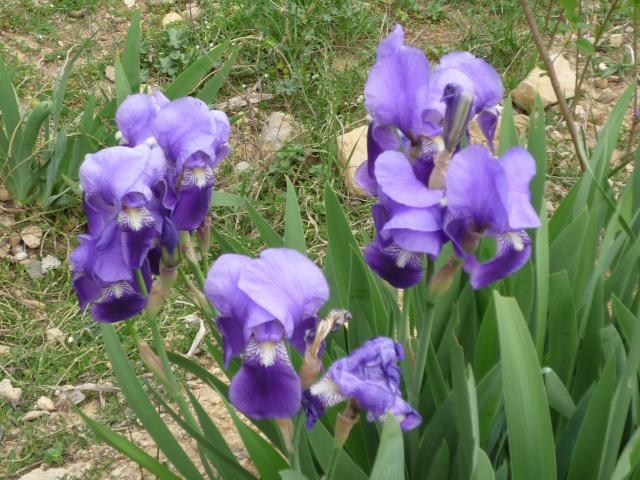 Floraison au fil du temps chez Zinna P1060113