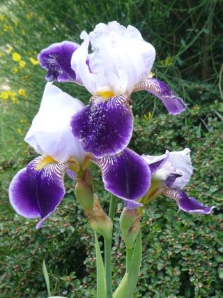 Floraison au fil du temps chez Zinna P1060311