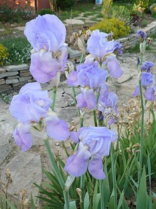 Floraison au fil du temps chez Zinna P1060313