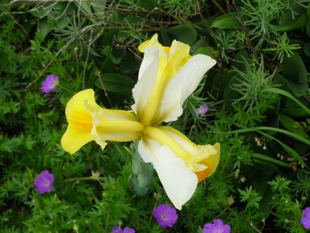 Floraison au fil du temps chez Zinna P1060414