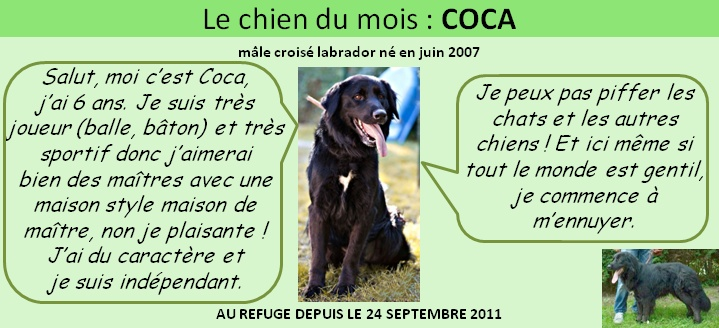 COCA - x (golden) retriever à poil plat (flatcoated)- 11 ans  (7 ans de refuge)- SPA Saint-Etienne Loire (42) Spa_av11