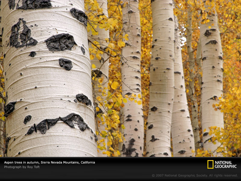 Information About Quaking Aspen Quakin10
