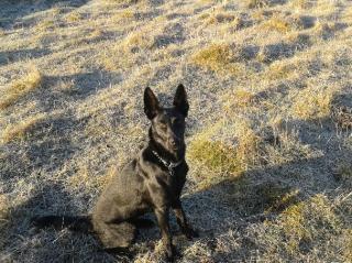 RUBY (femelle croisée border/berger) réservée 20140312