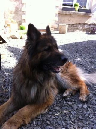 HAWAÎ (mâle berger allemand poils longs) Img_3410