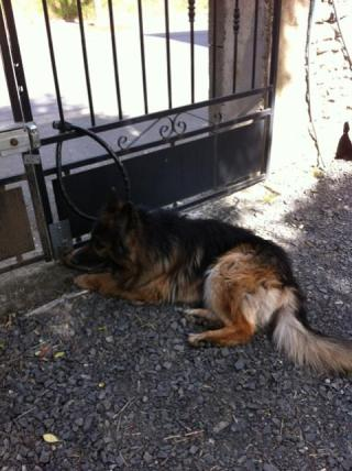 HAWAÎ (mâle berger allemand poils longs) Img_3411