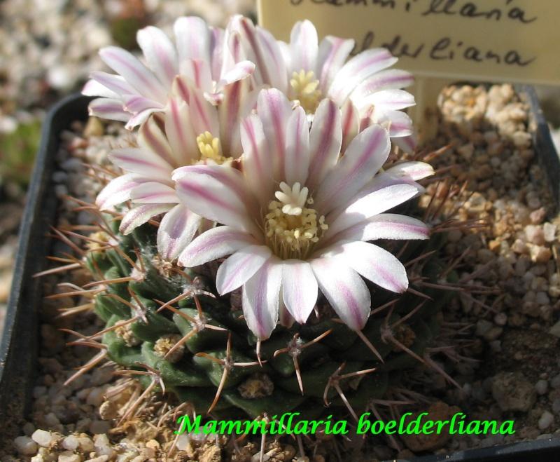 Mammillaria boelderliana Mammil20