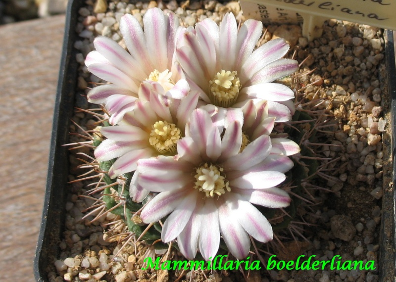 Mammillaria boelderliana Mammil21