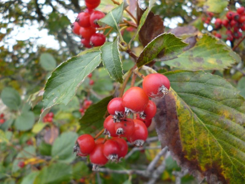 arbre à baies rouges P1010510