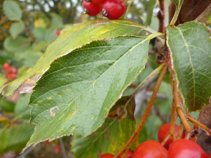 arbre à baies rouges P1010511
