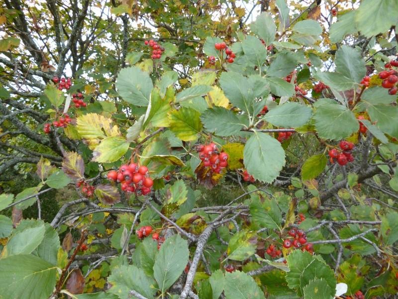 arbre à baies rouges P1010512