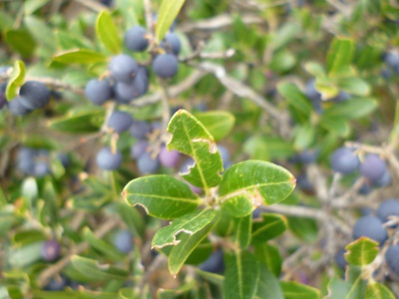 buisson à baies noires P1010513
