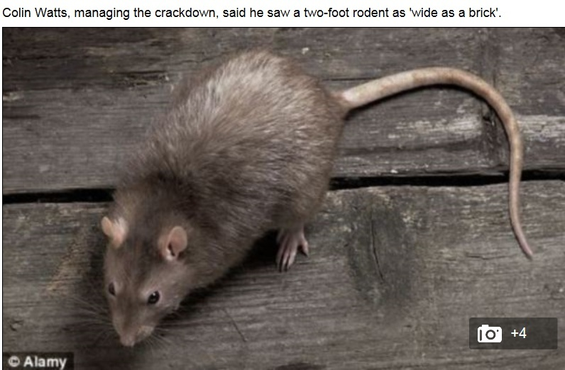 Rats as big as CATS prowl the streets as pest control officers are called to 5,000 sightings in a year in just one city Captu225