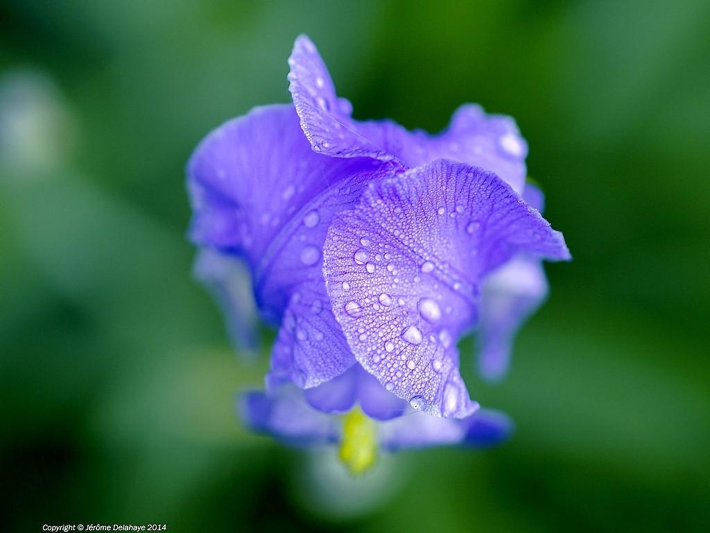 Iris a l'eau Sans_t14