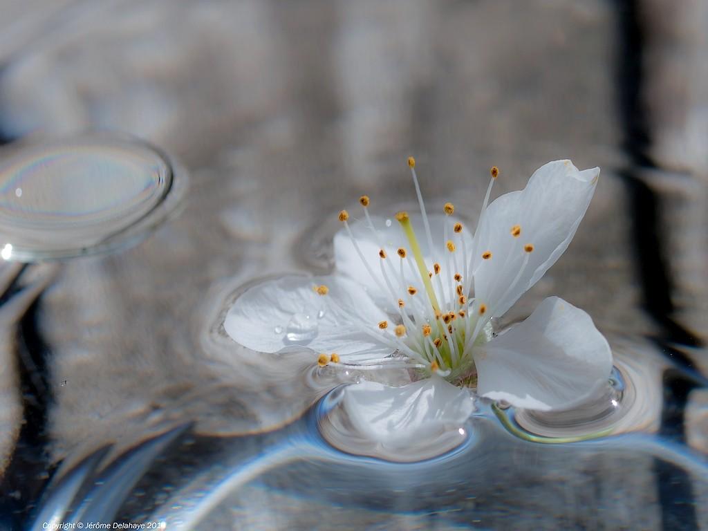 Fleur d'eau Sans_t15