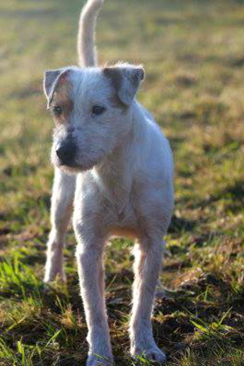 75245 Neulingen:Parson Russel Terrier in vermisst. 800x0-13