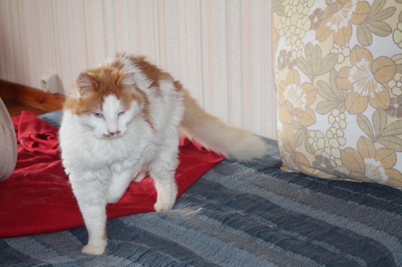 EZZIO - roux et blanc poils longs - 01/2008 Img_0822