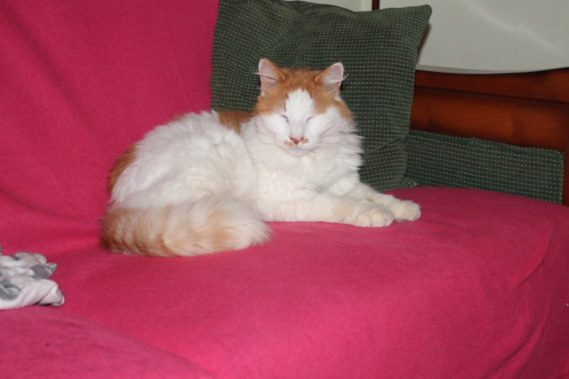 EZZIO - roux et blanc poils longs - 01/2008 Img_0847