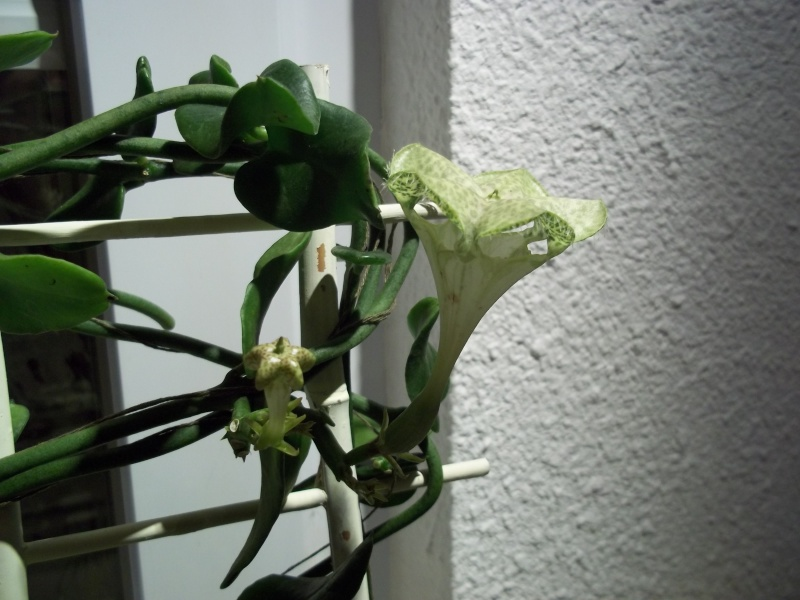 ceropegia sandersonii 100_1516
