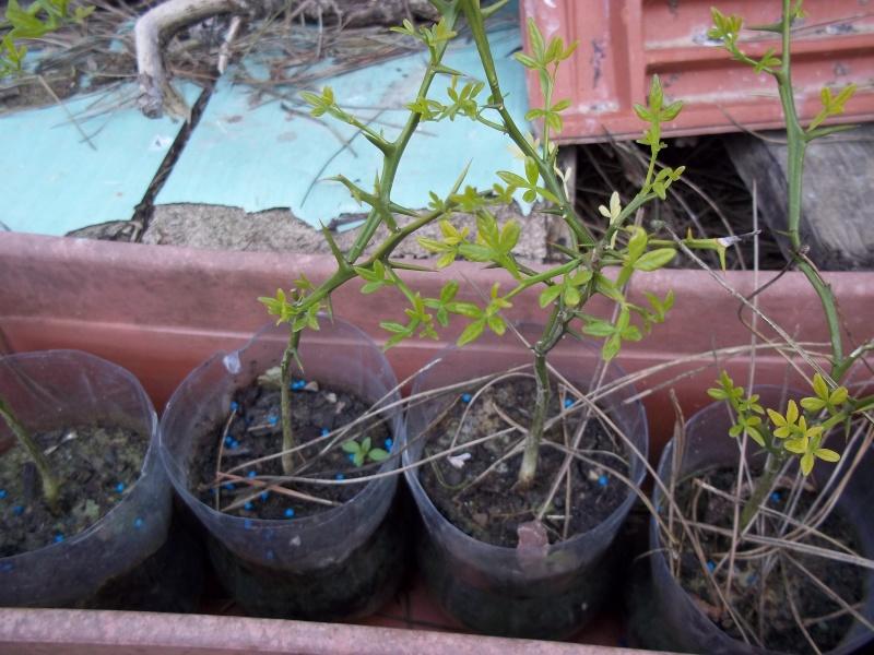 Poncirus trifoliata 100_1610