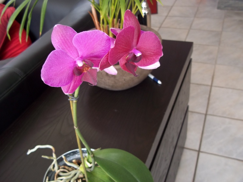 Phalaenopsis 100_1620