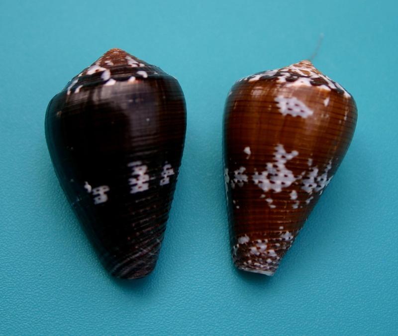 Conus (Pionoconus) catus fuscoolivaceus  Dautzenberg, 1937 112
