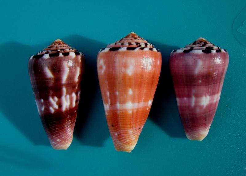 Conus (Pionoconus) gauguini  Richard & Salvat, 1973 - Page 6 1_trio10