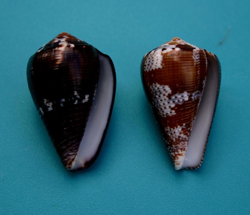 Conus (Pionoconus) catus fuscoolivaceus  Dautzenberg, 1937 213