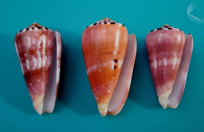 Conus (Pionoconus) gauguini  Richard & Salvat, 1973 - Page 6 3_trio10