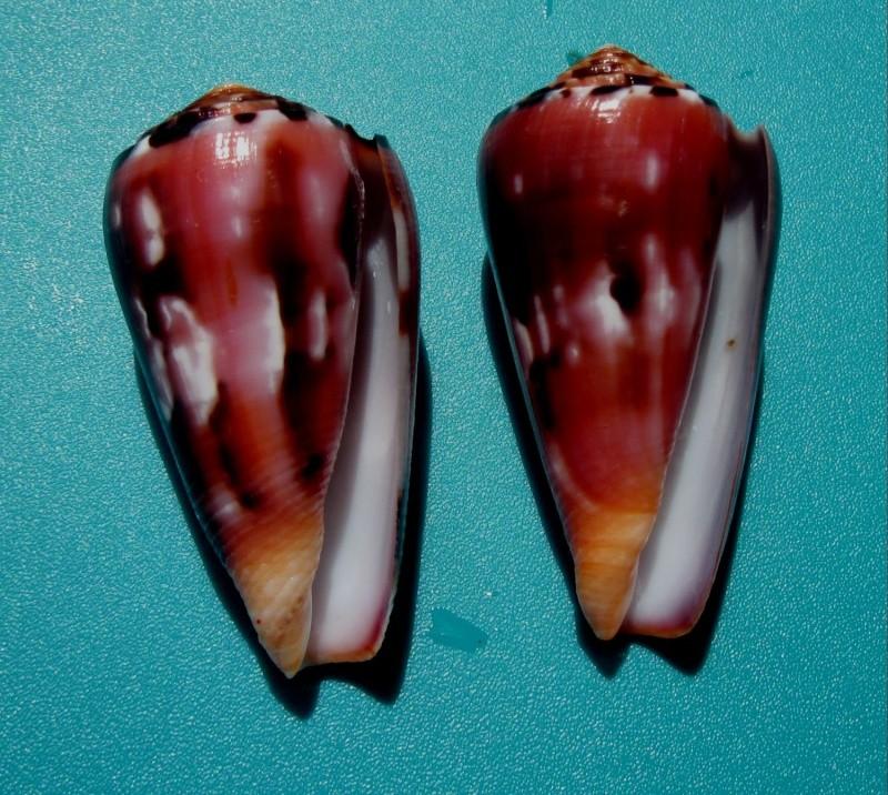 Conus (Pionoconus) gauguini  Richard & Salvat, 1973 - Page 6 411