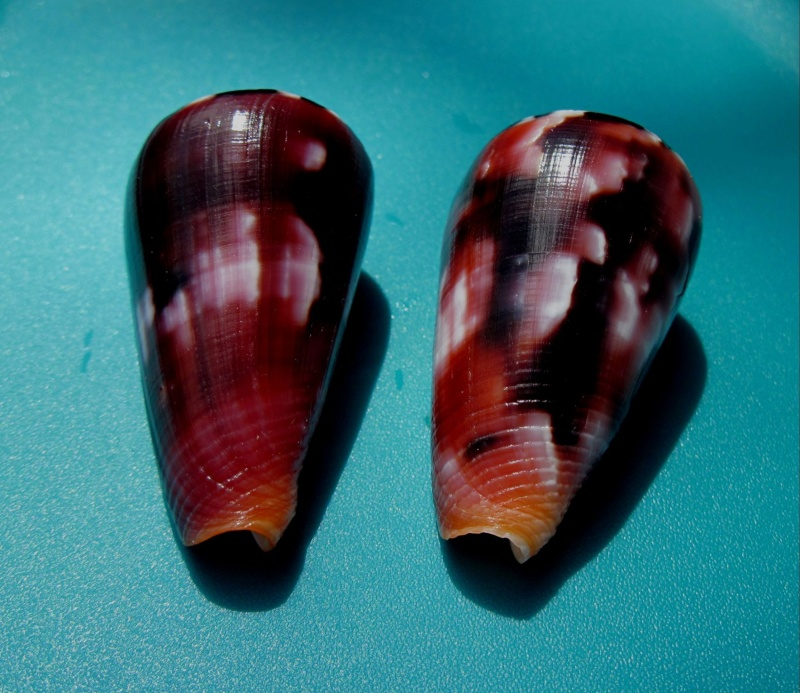 Conus (Pionoconus) gauguini  Richard & Salvat, 1973 - Page 6 710