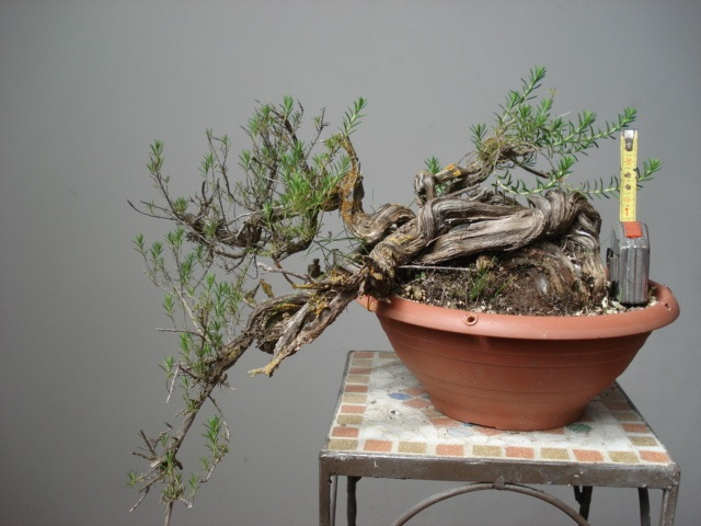 TIMO ... futuro bonsai ... 86355210