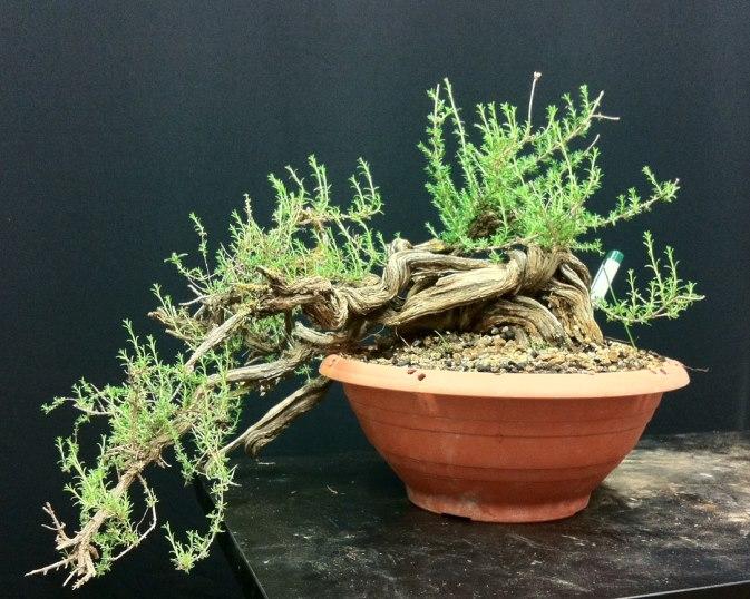 TIMO ... futuro bonsai ... Foto_111