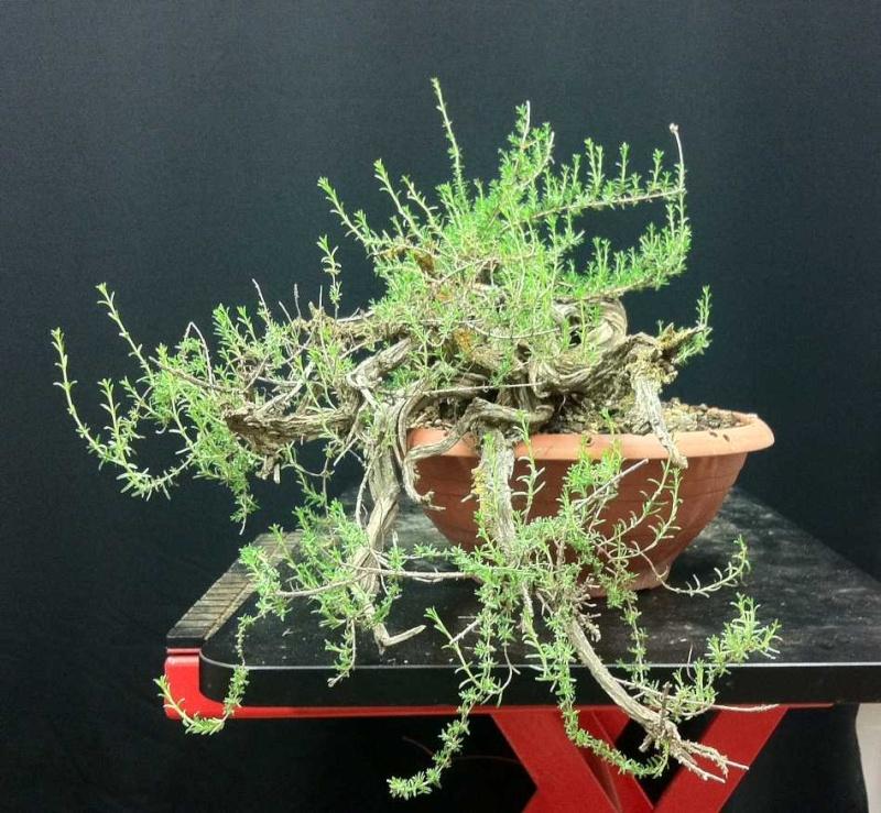 TIMO ... futuro bonsai ... Foto_211